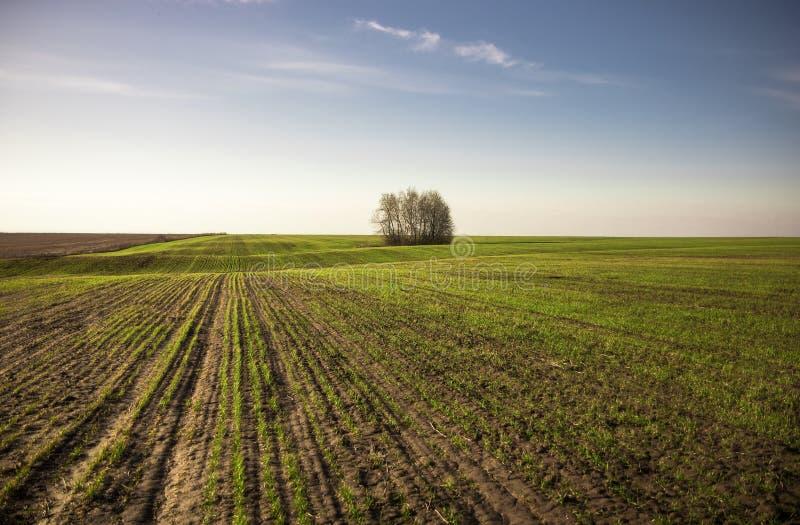 Het grenzeloze landbouwgebied met zaailingstarwe ontspruit de horizonlente bij zonsopgang als landbouwplattelandslandschap landsc stock foto