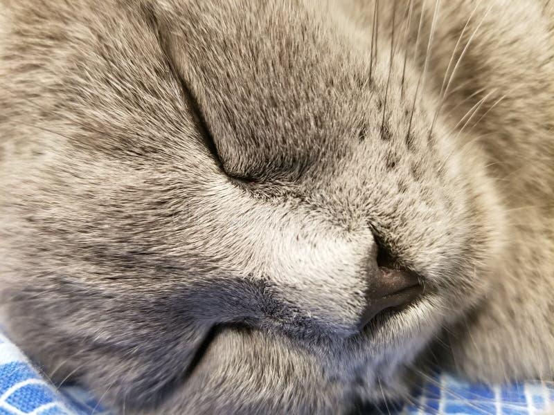 Het grijze Britse kleine close-up van de katjesslaap close-up van snuitkat Leuke potslaap stock afbeeldingen