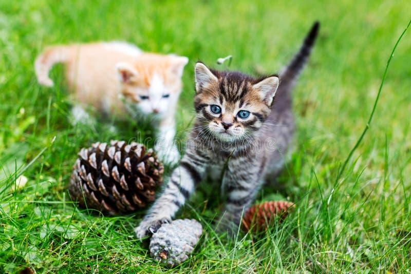 Het grijze gestreepte katkatje spelen met denneappels in groen gras, onscherp rood katje in afstand Selectieve nadruk stock foto