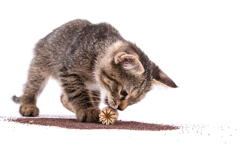 Het grijze gestreepte katkatje spelen met papavercapsule op witte achtergrond royalty-vrije stock afbeelding
