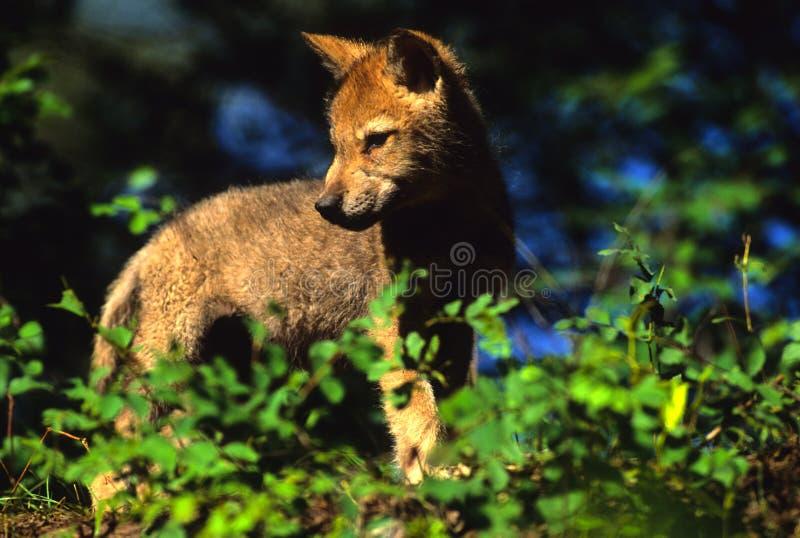Het grijze Jong van de Wolf royalty-vrije stock afbeelding