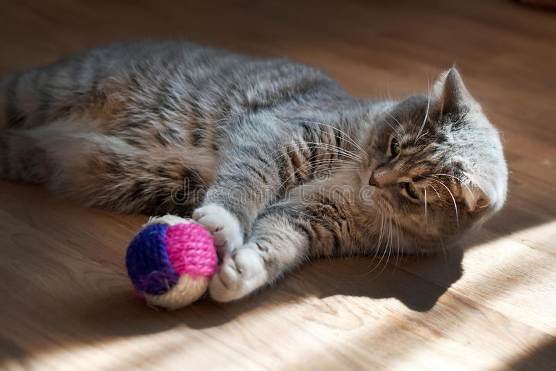 Het grijze kat spelen met een stuk speelgoed stock afbeeldingen