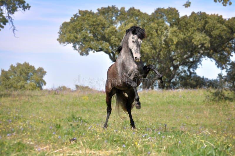 Het grijze paard grootbrengen op gebied royalty-vrije stock afbeelding