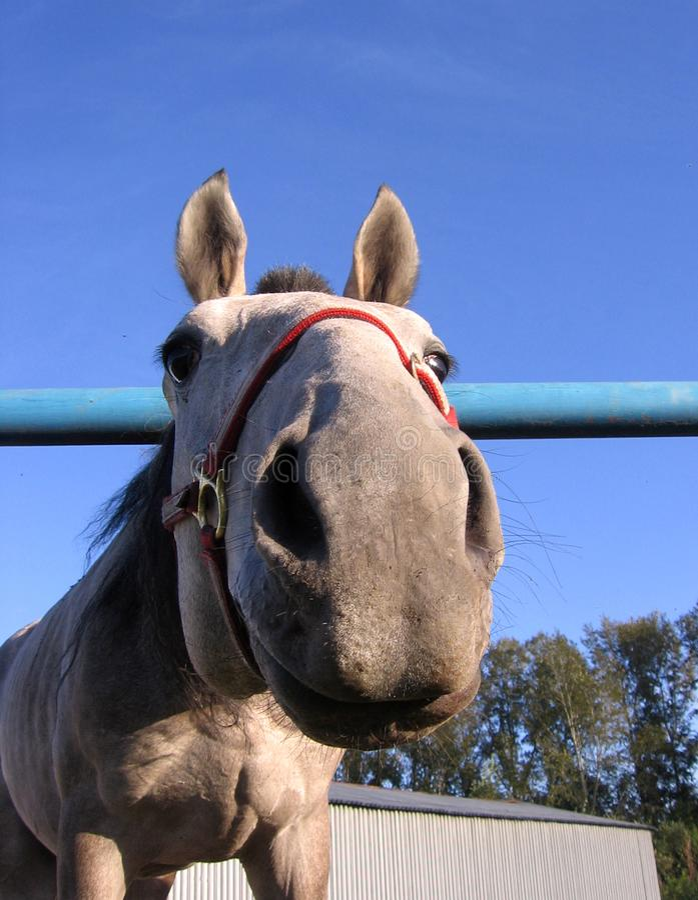 Het grijze paard porde een nieuwsgierig hoofd van het neus grappig gezicht royalty-vrije stock fotografie