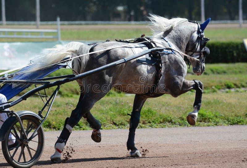Het grijze ras van de paarddraver in het draven op renbaan uitrustingspaardenrennen royalty-vrije stock afbeeldingen