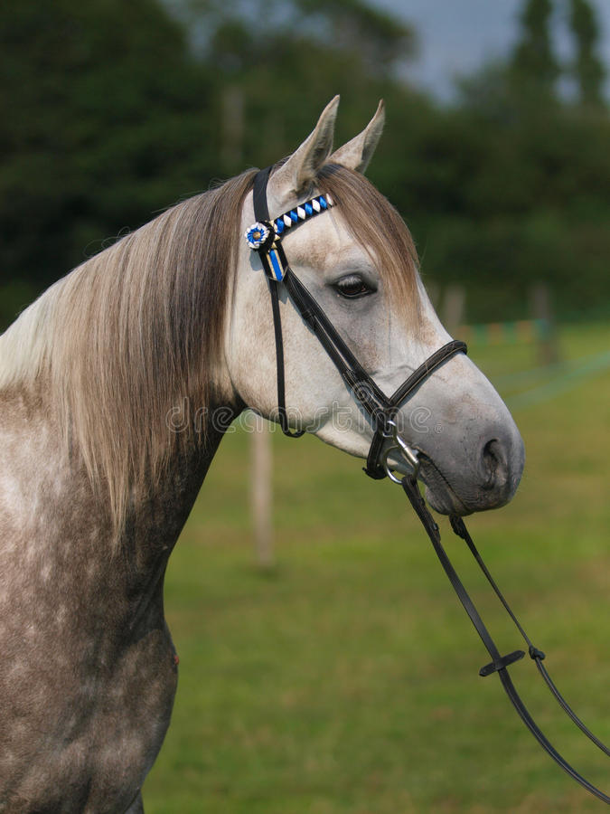 Download Het Grijze Schot Van Het Hoofd Van Het Paard Stock Afbeelding - Afbeelding bestaande uit oren, schot: 29510555