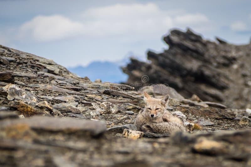 Het grijze vos ontspannen in de bovenkant van Cerro Guanaco in Ushuaia royalty-vrije stock foto's