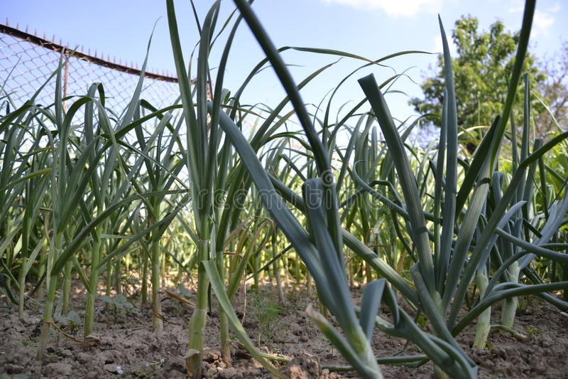 Het groeien plantte inlands cepa en knoflook sativum Alium van het uienallium Uiaanplanting in de lentetijd stock afbeelding