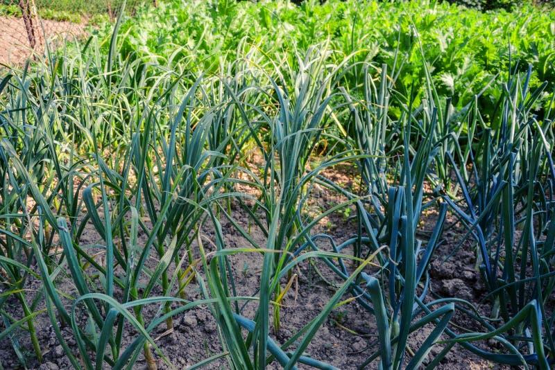 Het groeien plantte inlands cepa en knoflook sativum Alium van het uienallium Uiaanplanting in de lentetijd royalty-vrije stock afbeelding