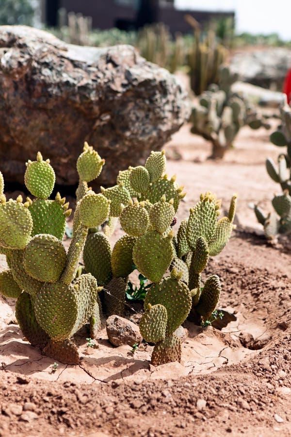 Het groeien van de cactus in de woestijn stock foto