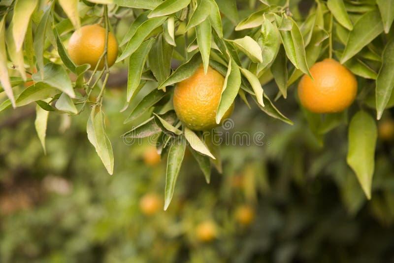 Het groeien van de clementine op de boom royalty-vrije stock foto's