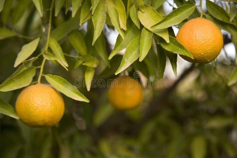 Het groeien van de clementine op de boom stock fotografie