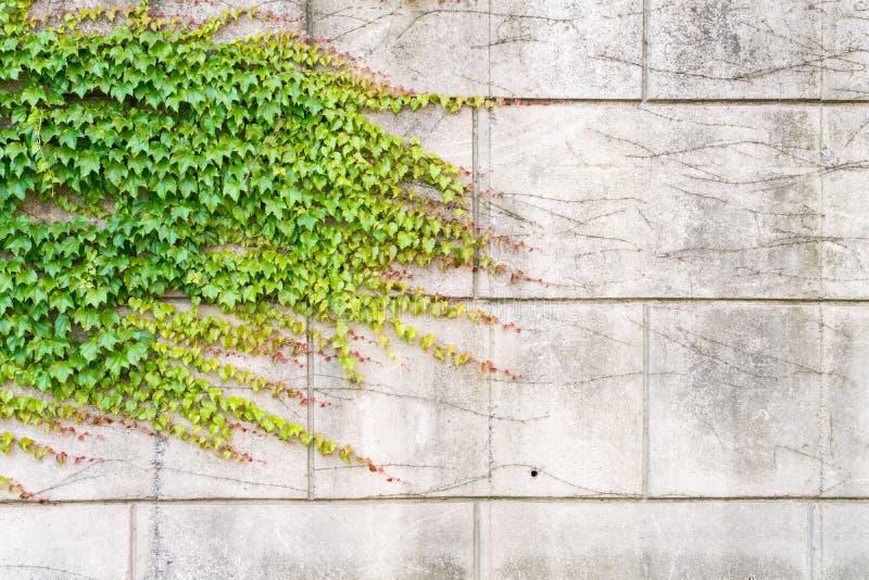Het Groeien van de klimop op Muur stock foto