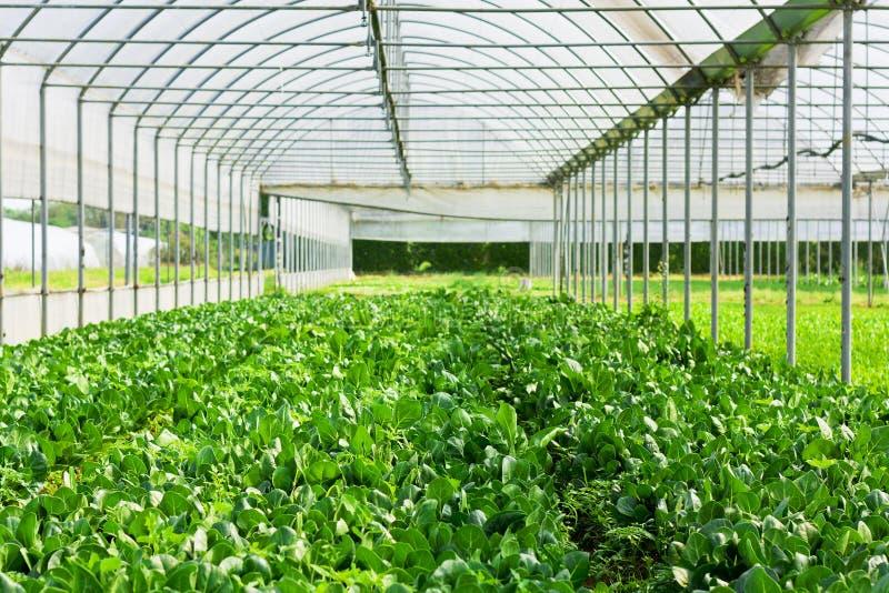 Het groeien van de sla in een groen stock fotografie