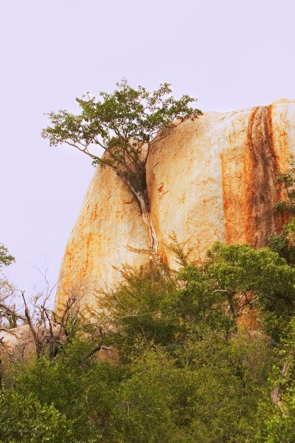 Het groeien van de vijgeboom in rotsgroef stock foto's