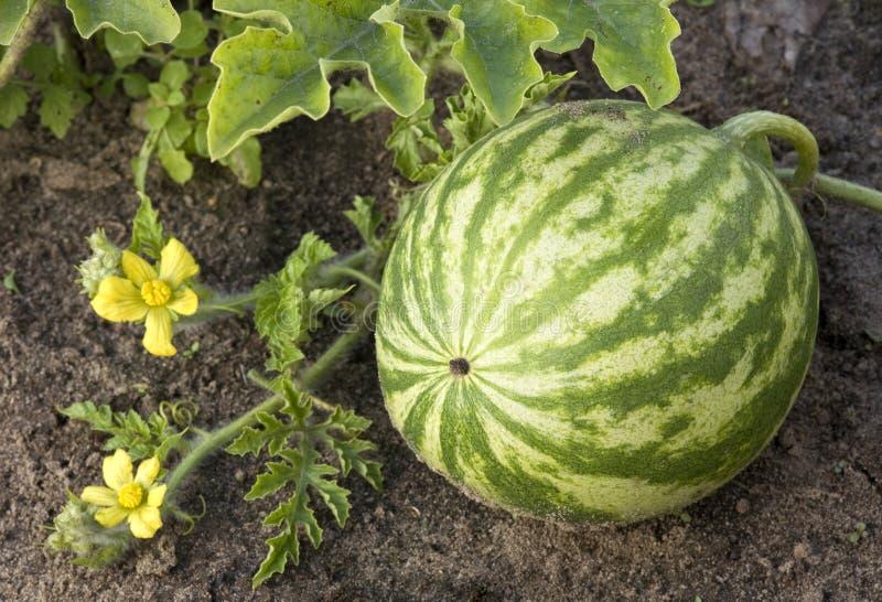 Het groeien van de watermeloen op het gebied. stock fotografie