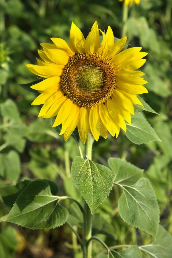 Het groeien van de zonnebloem in Toscanië, Italië. royalty-vrije stock foto