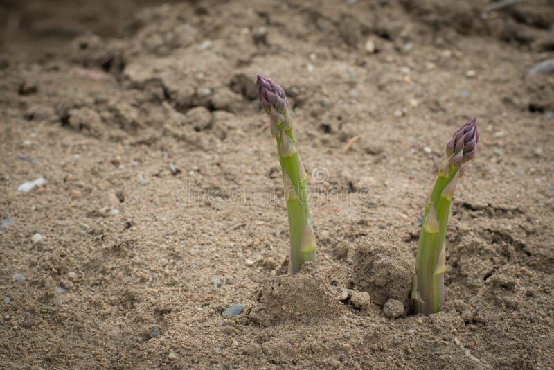 Het groene asperge groeien in grond royalty-vrije stock foto