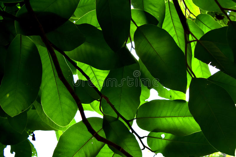 Het groene backlit blad is aard abstracte achtergrond stock foto's