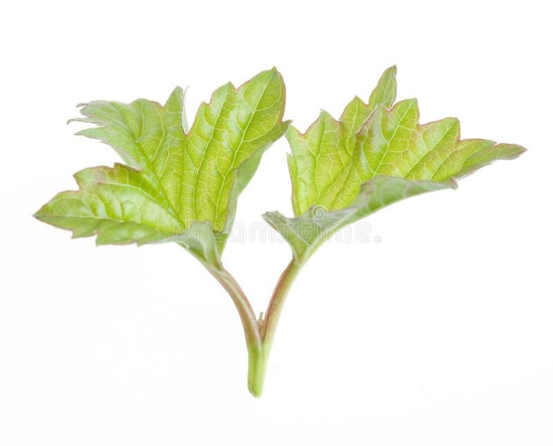 Het groene blad van de aard royalty-vrije stock afbeeldingen