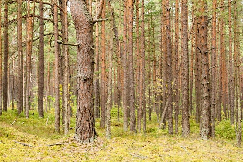 Het groene Bos van de boom van de Pijnboom royalty-vrije stock afbeeldingen