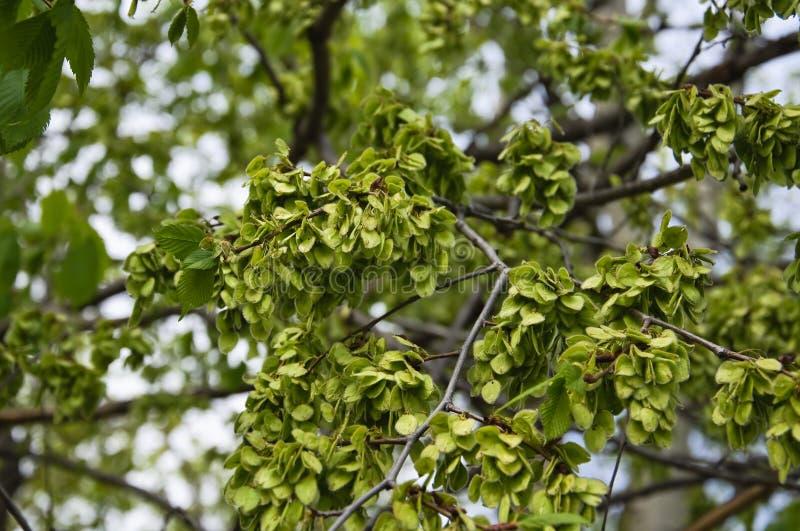 Het groene fruit, rond wind-verspreide samara van de iep Ulmus royalty-vrije stock foto's