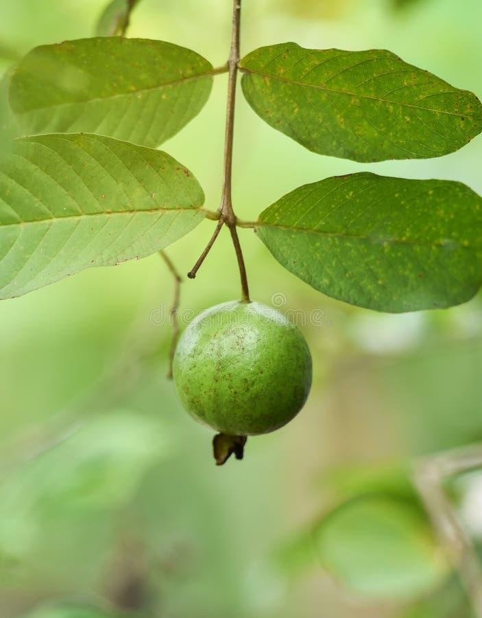Het groene fruit van de Guave van de Appel stock foto