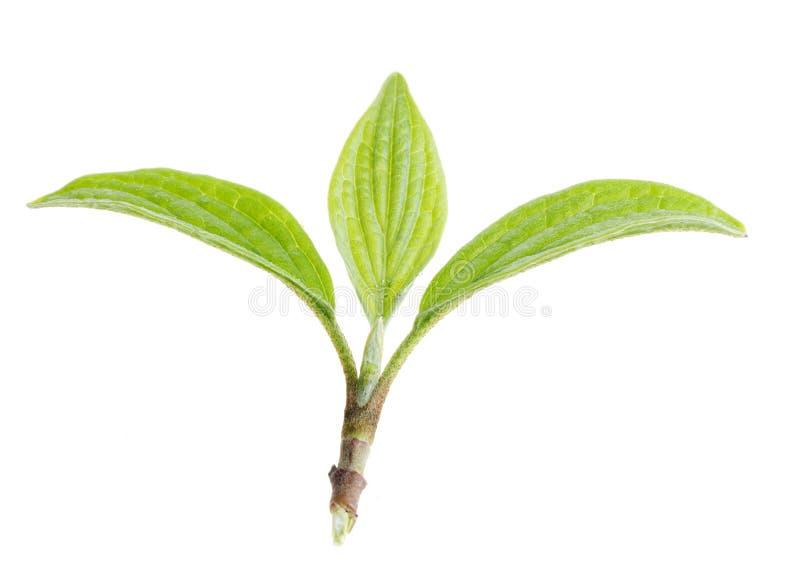 Het groene geïsoleerdee blad van de aard stock afbeelding