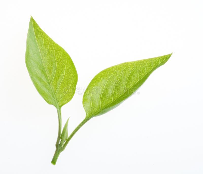 Het groene geïsoleerdeg blad van de aard stock afbeeldingen
