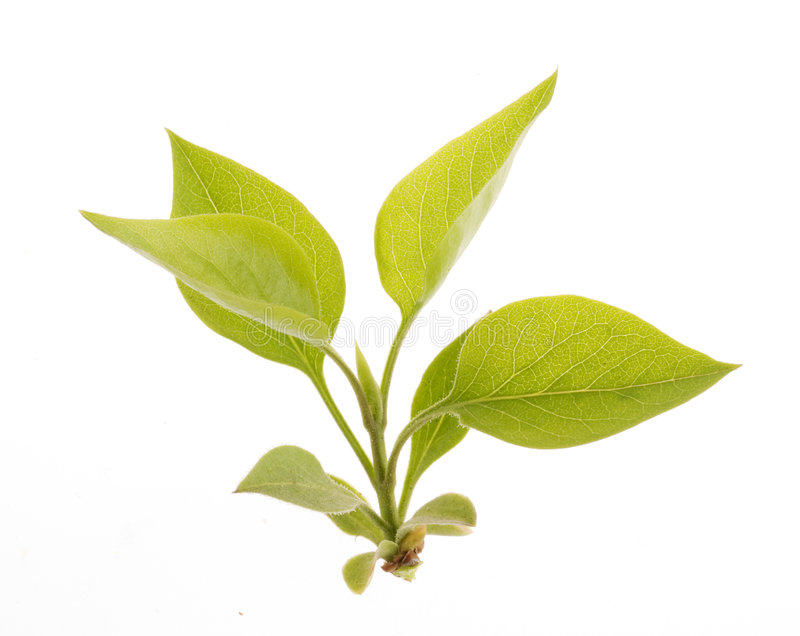 Het groene geïsoleerdeg blad van de aard stock afbeelding