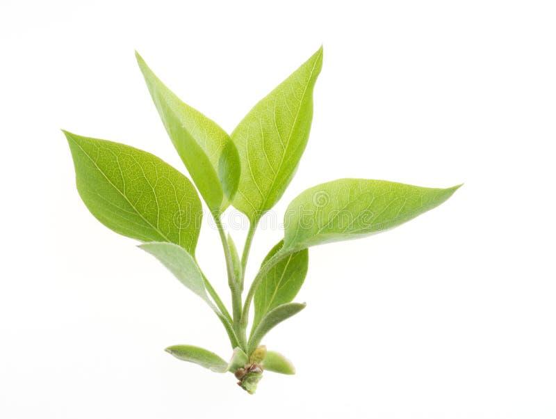 Het groene geïsoleerdeg blad van de aard royalty-vrije stock afbeelding