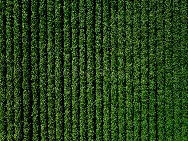 Het groene gebied van het land van aardappel met rijlijnen, hoogste mening, luchtfoto royalty-vrije stock foto's