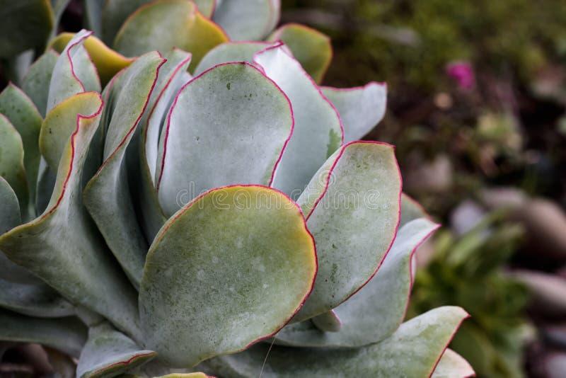 Het groene gele blad scherpte in diep magenta close-up van enig breed rond gemaakt succulent blad, achtergrondtextuur stock fotografie
