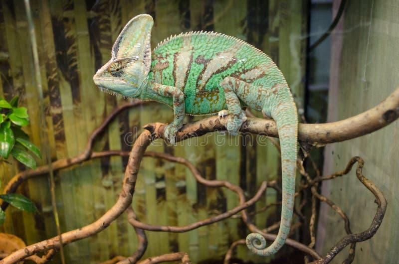 Het groene gestreepte kameleon zit op een tak stock afbeeldingen