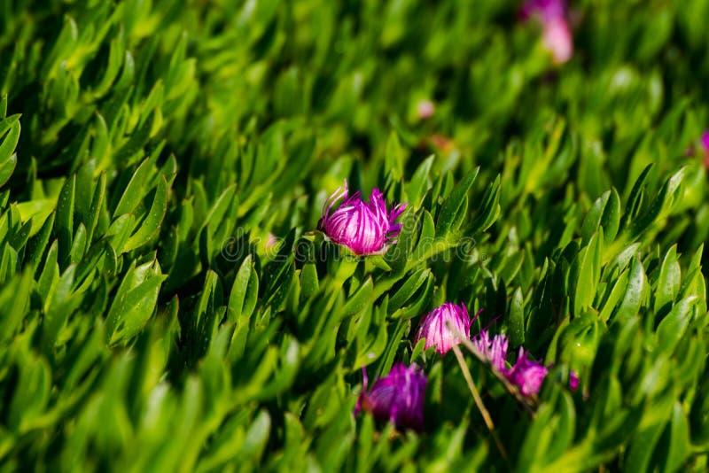Het groene gras van de kustcactus met bloemen stock afbeeldingen
