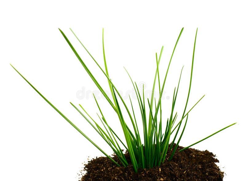 Het Groene Gras Van Upgrowth Stock Afbeelding