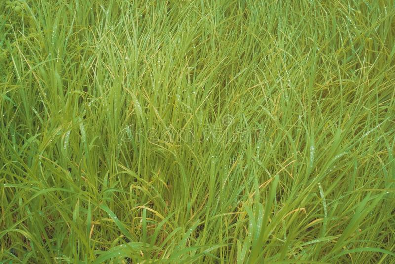 Het groene gras viel met dauwdalingen stock afbeeldingen