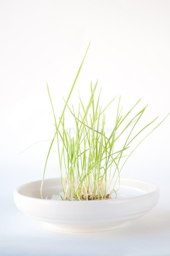Het groene Groeien van het Gras in een Witte Schotel royalty-vrije stock foto