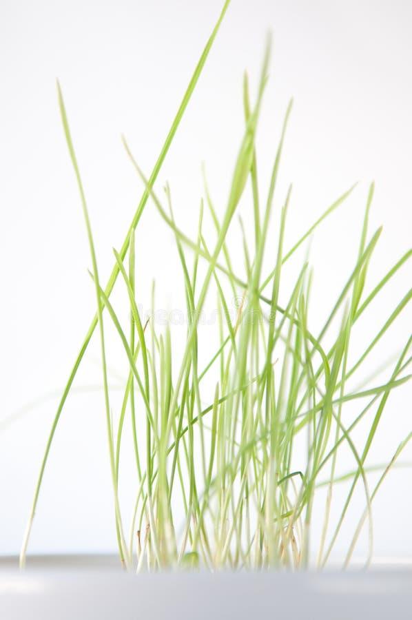 Het groene Groeien van het Gras in een Witte Schotel royalty-vrije stock fotografie