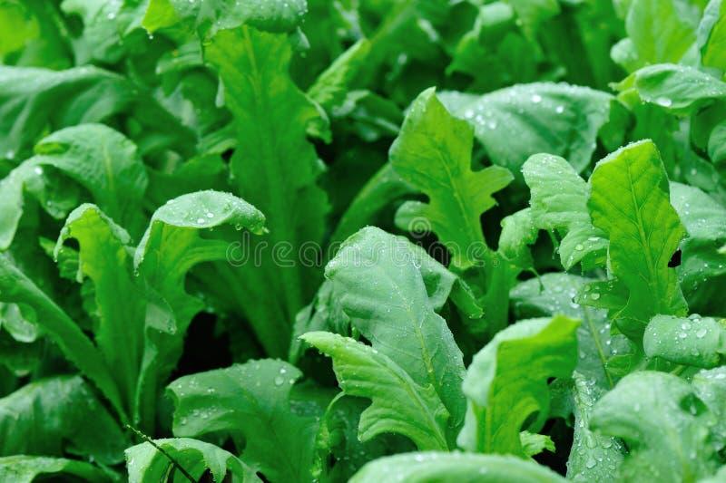 Het groene Indische slainstallaties groeien stock afbeelding
