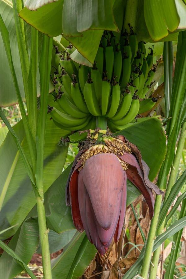 Het groene inheemse fruit van de banaansteel stock foto's