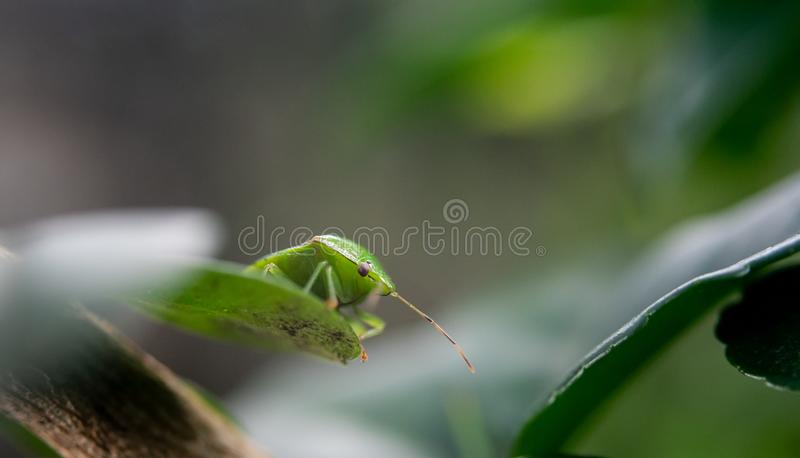 Het groene insect bij blad, sluit omhoog geschoten stock afbeeldingen