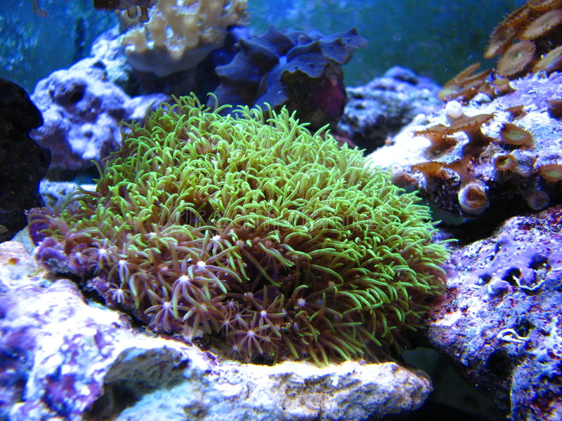 Het groene koraal van de sterpoliep royalty-vrije stock foto