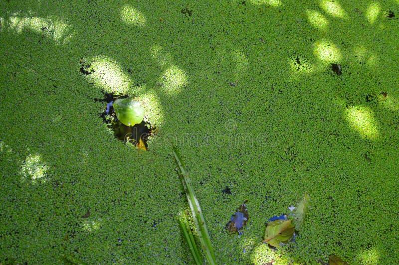 Het groene landschap van het moerasmoerasland Beverplatina De mening van het het moerasbinnenwater van moerasbomen royalty-vrije stock afbeelding