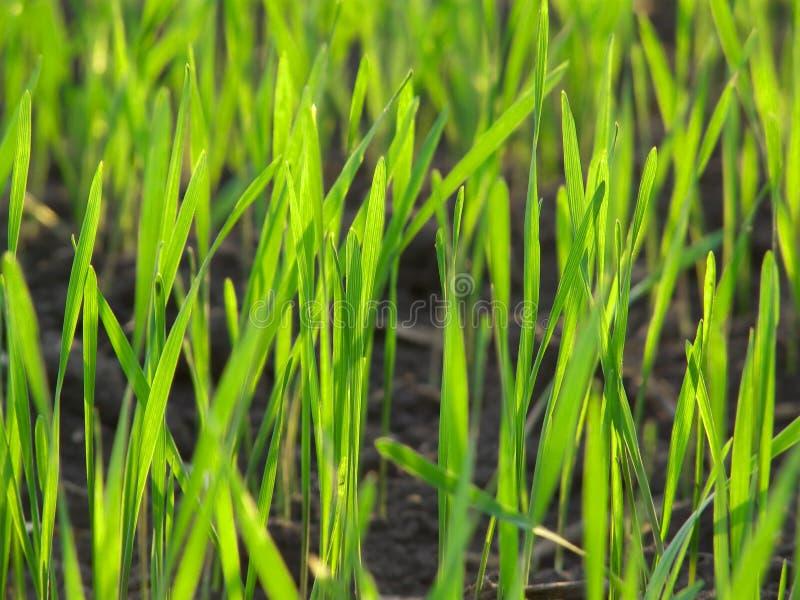Het groene macro verse landschap van het gras stock afbeelding