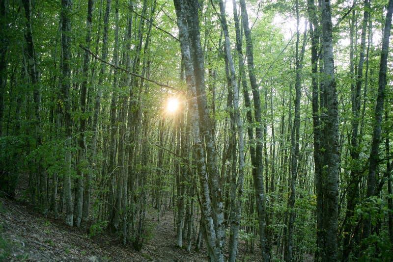 Het groene magische boshout van de beuk stock afbeelding