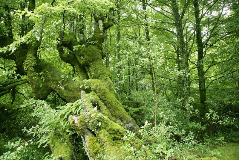 Het groene magische boshout van de beuk stock foto's