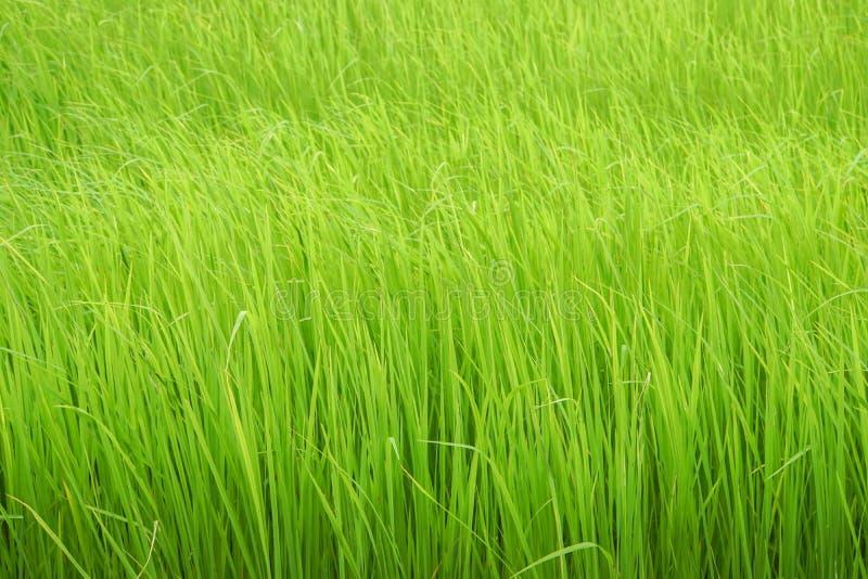 Het groene padieveld groeit in padielandbouwbedrijf in regenachtig seizoen stock foto