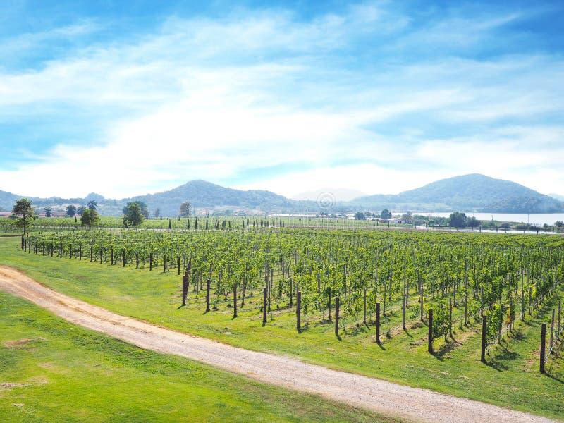 Het groene panoramische landschap van de druivenwerf royalty-vrije stock afbeelding