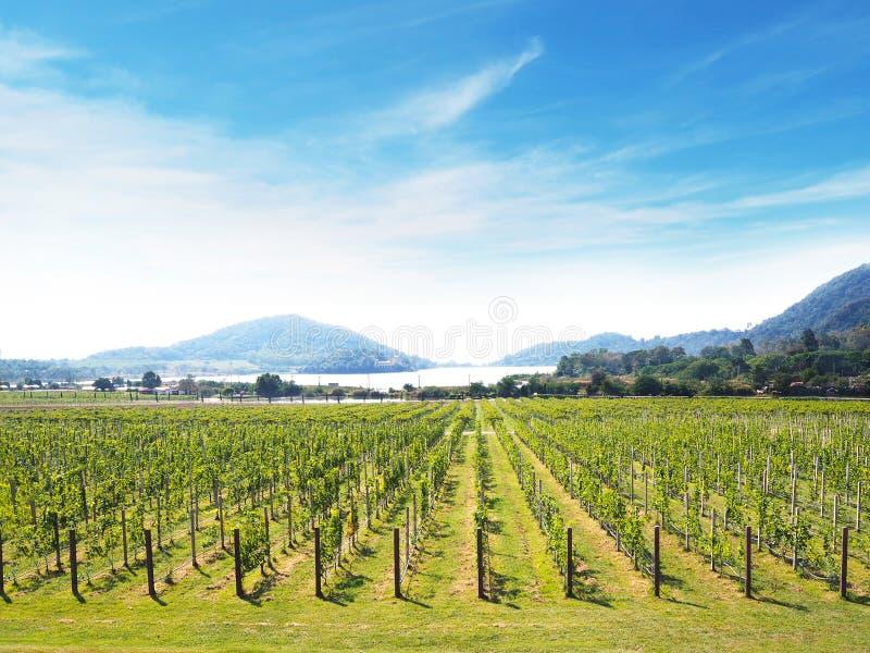 Het groene panoramische landschap van de druivenwerf stock foto's